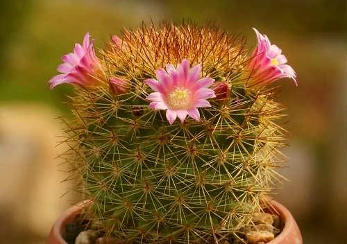 Фото кактус