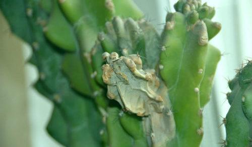 Болезнь кактуса