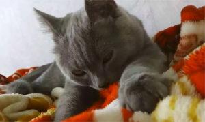 Взрослый кот присосался к одеялу