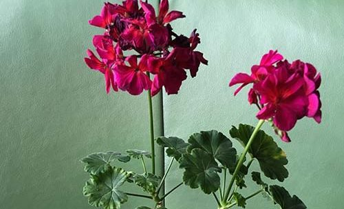 цветок в комнате