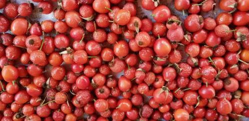 много ягод шиповника
