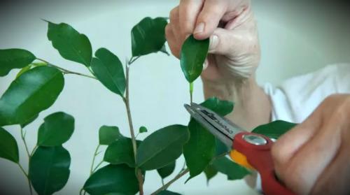 срезание листьев цветка