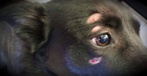 грибок у пса