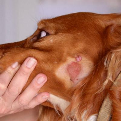 грибок у собаки на голове