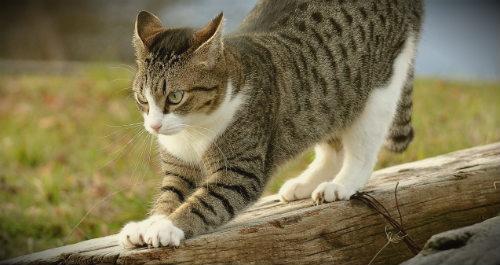 кошка на природе точит когти
