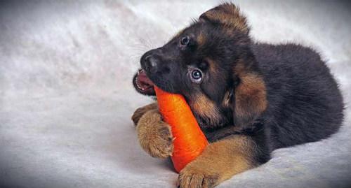 щенок ест морковку