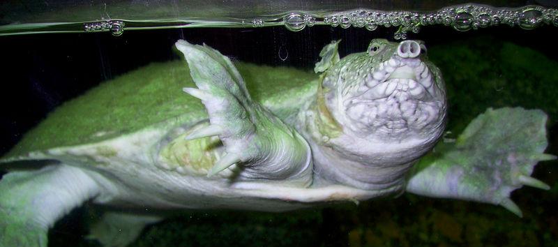 трионикс плавает