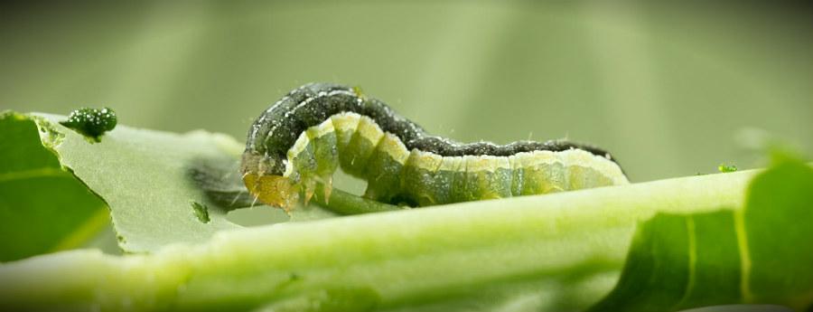 капуста и гусеница на ней