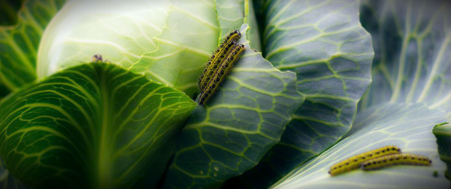 вилок капусты с гусеницей