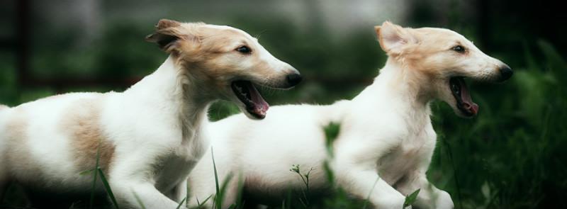две русских борзых щенки
