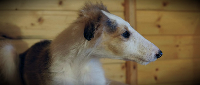 борзая русская щенок