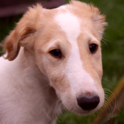 русская борзая щенок